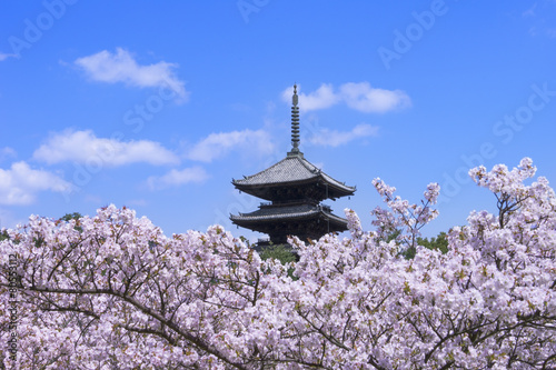 Fotobehang Kersen 仁和寺の桜
