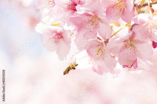 Foto op Plexiglas Kersen 桜と日本ミツバチ