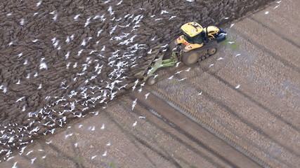 Tractor driver ploughing fields and hungry birds flock together