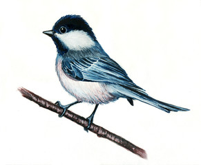 Watercolor illustration of a blue tit on a white background