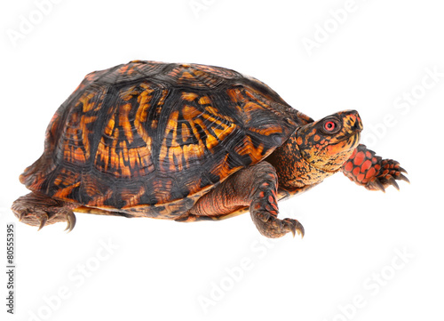 Papiers peints Tortue Box Turtle