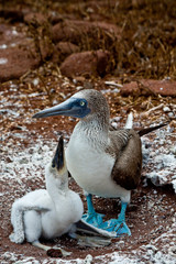 Blue footed booby with chick in the Galapagos Islands