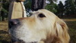 Extreme close up of lovable golden retriever dog as she turns her head to camera