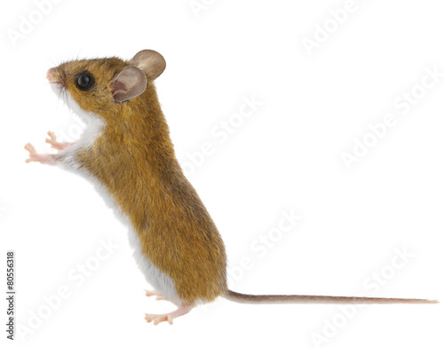 Papiers peints Cerf Deer Mice - Peromyscus Mouse