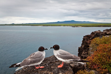 Couple of swallow tailed gull in the Galapagos Islands