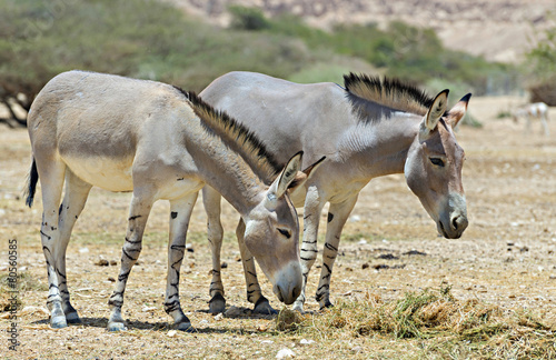 Foto Spatwand Ezel Somali wild donkey (Equus africanus) in Israeli nature reserve