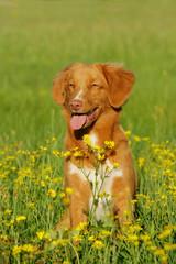 Brauner Hund in Wiese