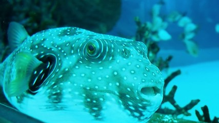 dotted pattern beautiful puffer fish in the tank