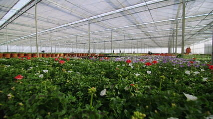 Rows of many flowering plants growing in a large commercial nursery greenhouse