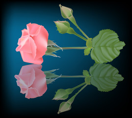 pink rose flower and two buds with reflection