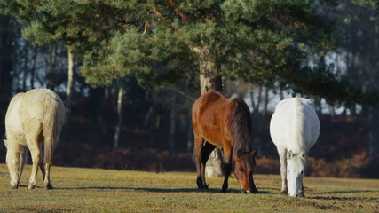 Wild ponies grazing in a forest in the sunshine