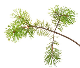 green isolated pine tree branch