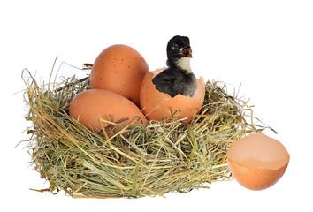 dark chicken in nest with eggs