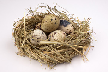quail eggs in nest  isolated on the white  background