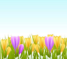 spring crocus flowers background