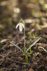 single snowdrop flower close up photo with very shallow focus