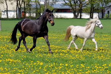 PferdeWieseKoppelLoewenzahn
