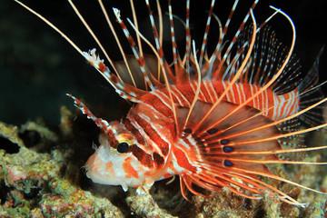 Close-up of a Spotfin Lionfish, South Ari Atoll, Maldives