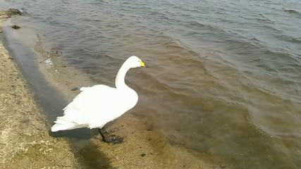 白鳥と湖_2