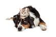 Quadro Kitten Sitting on Patient Large Dog