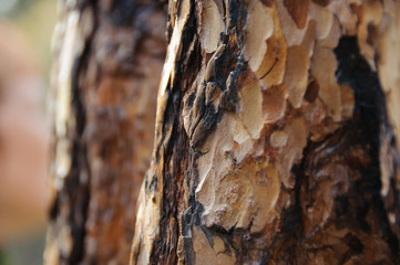 Brown bark of pine-tree