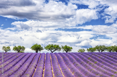 Fototapeta View of lavender field
