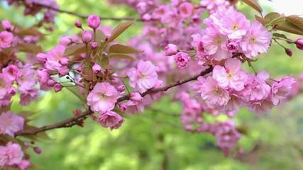 Kwitnące drzewo wiosną
