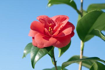 Kamelie, Camellia; japonica;