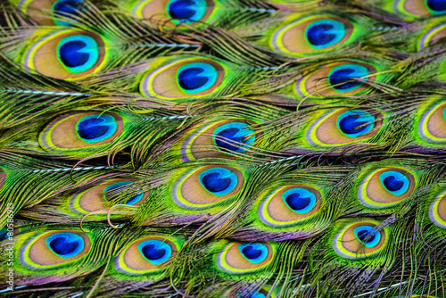 Foto op Plexiglas Pauw peacock feather