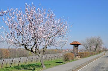 Pfälzer Mandelblüte im Edenkobener Tal