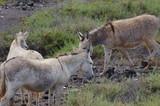 Esel auf Fuerteventura 9