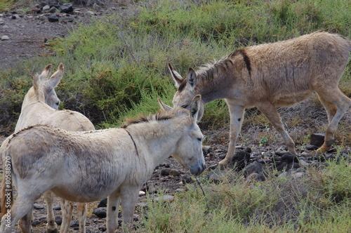 Tuinposter Ezel Esel auf Fuerteventura 9