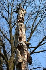 Ein Spechtbaum: Stamm aus Totholz mit Spechtlöchern