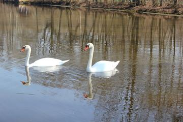 Zwei Schwäne auf einem See