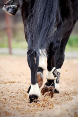 Hind legs of a black horse.