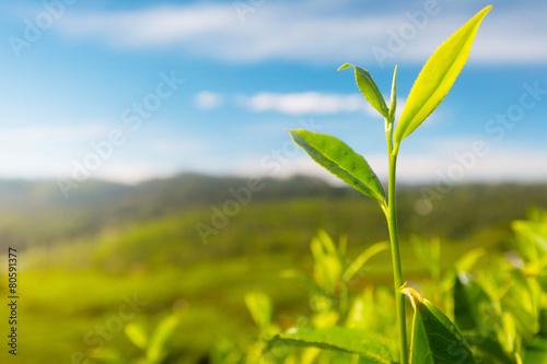 Camellia sinensis tea - 80591377