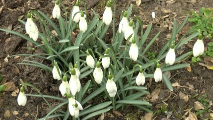 group of snowdrops (Galanthus nivalis Lat.) on the ground