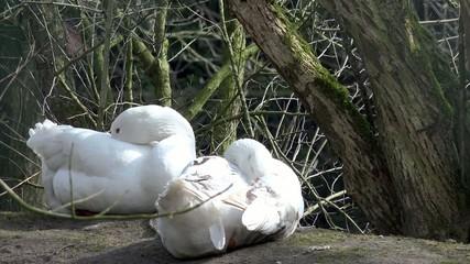 schlafende weiße Gänse