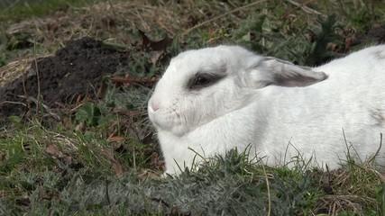 weißes Kaninchen liegt auf der Wiese