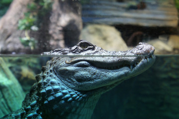 The head of a crocodile over water