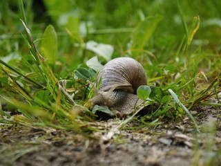 large snail crawling in the grass