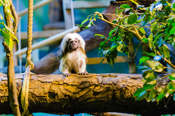 Cotton-top tamarin in a zoo