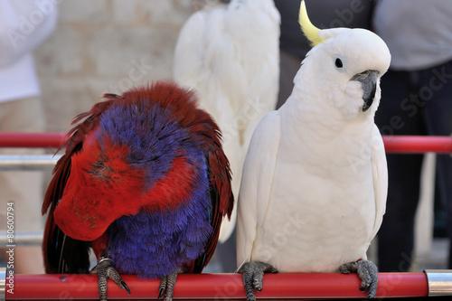 ARA papugi