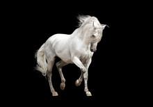 "Постер, картина, фотообои ""white andalusian horse stallion isolated on black background"""