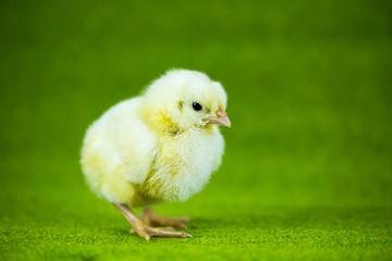 Kurczaczek na trawie