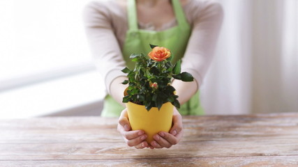 close up of woman hands holding roses bush in pot