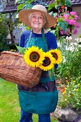 Happy Old Woman with Basket Harvesting Sunflowers.