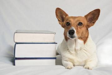 Brown and white corgi with textbooks