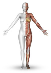 3D female figure with muscle map
