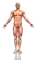 3D male figure with detailed muscle map